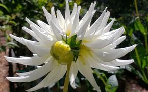 Picture petals, Bud, Dahlia, white Dahlia