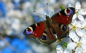 Picture macro, flowers, pattern, butterfly, wings, branch, spring, insect, flowering, blue background, Emperor moth