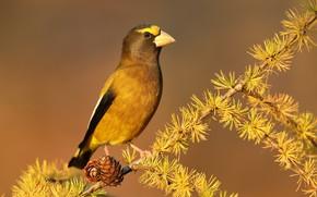Picture autumn, nature, bird, Вечерний американский дубонос