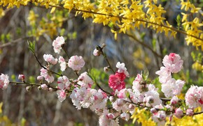 Picture flowers, branches, spring, yellow, garden, Sakura, pink, flowering, the bushes, bokeh, striped, pink and white, …