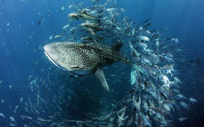 Picture water, fish, fish, shark, under water, The largest of the currently existing species, The whale …