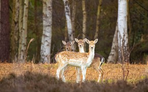 Picture forest, light, trees, nature, deer, trio, Trinity, calves