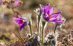 Picture macro, flowers, nature, spring, primroses, anemones, sleep-grass, cross