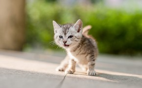Picture cat, look, light, pose, kitty, baby, kitty, the sidewalk, bokeh