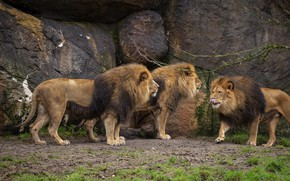 Picture language, stones, Leo, three, lions, trio, communication, boys, party, gathering