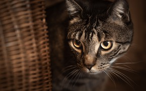 Picture cat, cat, look, basket, muzzle, cat