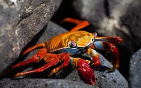 Picture orange, close-up, red, the dark background, stones, shore, crab, crab, claws