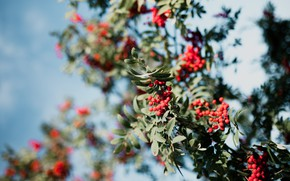 Picture autumn, the sky, branches, berries, tree, fruit, red, Rowan, bokeh
