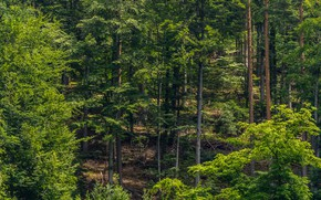 Wallpaper forest, the sun, summer, greens, trees, Germany, slope, The black forest