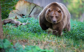 Picture grass, look, face, nature, bear, bear, walk, brown, chubby, Bombaster