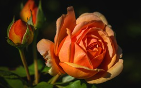 Picture macro, light, the dark background, rose, roses, orange, petals, Bud, bright