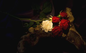 Picture stump, roses, the dark background