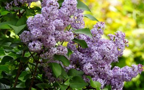 Picture flowers, bouquet, spring, lilac