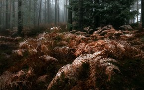 Picture autumn, forest, fog, ferns
