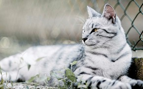 Picture Scottish, tabby cat, lying on the ground