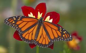 Wallpaper flower, background, butterfly
