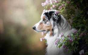 Picture look, face, flowers, branches, nature, background, Bush, portrait, dog, profile, pink, bokeh, Aussie
