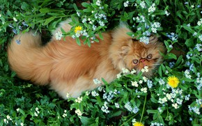 Picture greens, cat, cat, look, face, leaves, flowers, nature, pose, stay, glade, back, fluffy, garden, red, …
