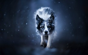 Picture face, snow, background, dog, The border collie