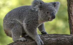 Picture look, face, pose, background, tree, branch, Koala