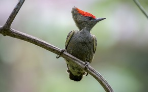 Picture bird, branch, woodpecker short-tailed