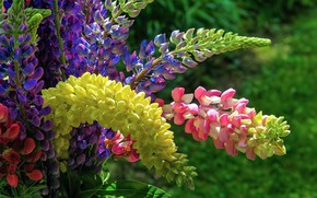 Picture bouquet, inflorescence, Lupin