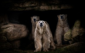 Picture look, pose, rock, the dark background, stones, paws, shelter, bears, three, twilight, white, polar bear, ...