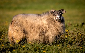 Picture look, face, flowers, nature, glade, wool, RAM, lamb, sheep, sheep