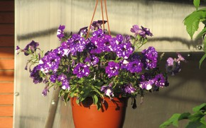 Picture Flowers, Summer, Pot, Purple, Petunias, Meduzanol ©, Pockmarked