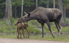Picture nature, rain, family, moose, DUELL ©