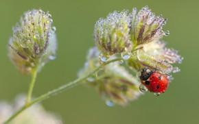 Picture drops, macro, background, plant, ladybug, beetle