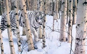 Picture winter, forest, white, tiger, Robert R. Copple