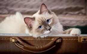 Picture cat, background, suitcase