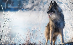 Picture winter, language, snow, nature, dog, Belgian shepherd