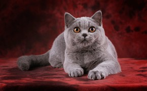Picture cat, cat, look, pose, kitty, grey, portrait, legs, muzzle, cute, lies, kitty, red background, the …