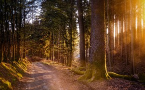 Picture road, forest, the sun, rays, light, branch, trunks, pine, log, path, Bor, pine