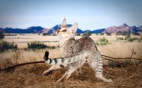 Picture field, cat, the sky, cat, mountains, branches, nature, pose, kitty, back, tail, straw, looking up, …