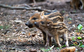 Picture forest, nature, foliage, two, pair, walk, boar, kids, a couple, Duo, two, cuties, pig, symbol …
