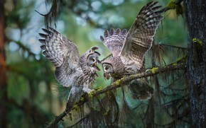 Picture birds, branches, tree, wings, owls, Great grey owl