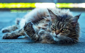 Picture asphalt, resting, Maine Coon, lying on his side