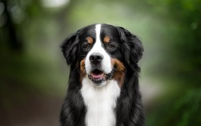 Picture smile, dog, breed, handsome