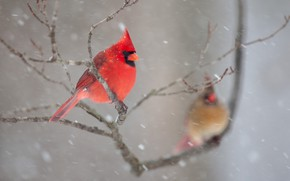 Picture winter, snow, birds, branches, nature, pair, cardinal