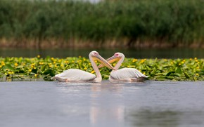 Picture summer, water, flowers, birds, nature, pose, pond, shore, two, beak, yellow, pair, a couple, Duo, …