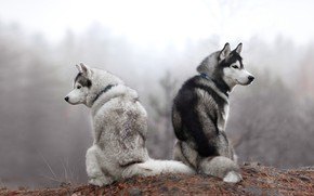 Wallpaper autumn, forest, dogs, look, nature, pose, fog, two, morning, pair, a couple, Duo, husky, sitting, ...