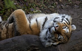 Picture look, face, tiger, pose, paw, lies, log