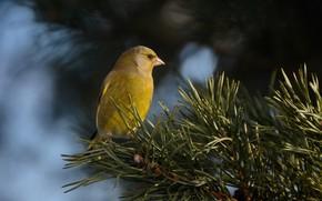 Picture sprig, beak, zelenushka common, хищный взгляд