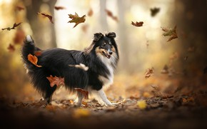 Picture autumn, leaves, mood, dog, bokeh, Sheltie, Shetland Sheepdog