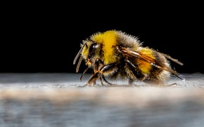Picture macro, bee, profile, insect, black background, bumblebee
