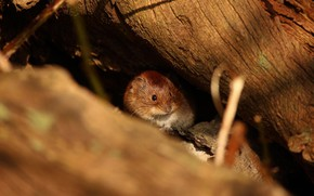 Picture mouse, mouse, log, field, St.