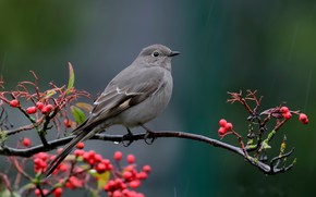 Picture nature, bird, Townsend's Solitaire